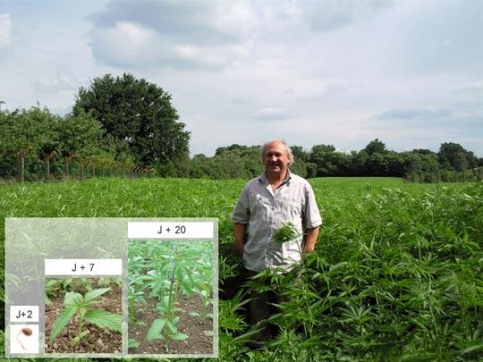 Les différentes phases du chanvre : de la graine à la plante adulte